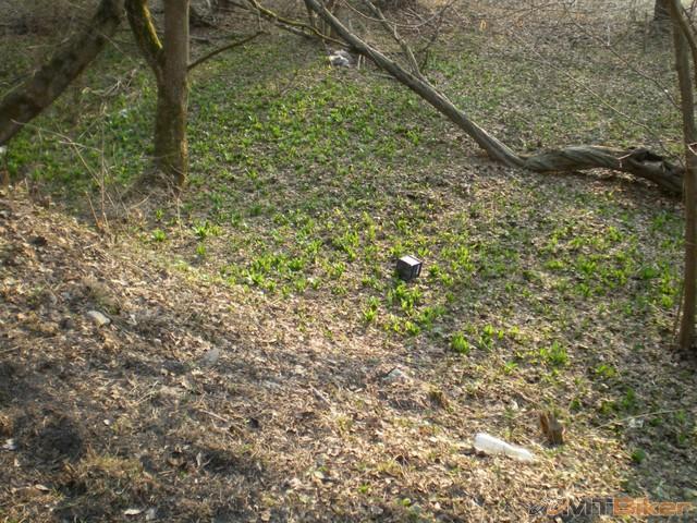 75.cesnak medvedi uz silno rozvoniava.jpg