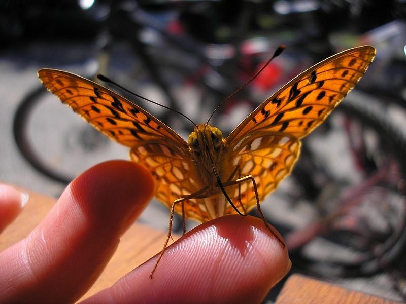 Motyl.jpg